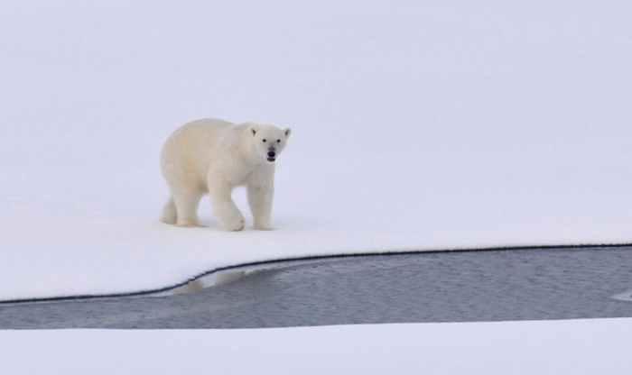 polar-bear-ice-arctic-white-162320.jpeg