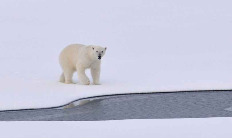 polar-bear-ice-arctic-white-162320.jpeg
